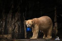 Tierpark Berlin 26.12.2017 062 (Fruehlingsstern) Tags: eisbär polarbear wolodja rothund nashorn stachelschwein tierparkberlin canoneos750 tamron16300
