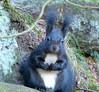 """Das """"Gemeine Papststein-Eichhörnchen"""" (isajachevalier) Tags: eichhörnchen tier wildtier säugetier natur elbsandsteingebirge sächsischeschweiz sachsen panasonicdmcfz150"""
