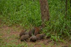 Mongoose Business (Ockert) Tags: isimangaliso mongoose