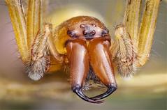 Cheiracanthium punctorium,male, Miturgidae (dorolpi) Tags: