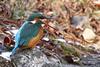 Martin-Pêcheur bec 170111-02-P (paul.vetter) Tags: oiseau ornithologie ornithology faune animal bird martinpêcheur alcedoatthis eisvogel kingfisher