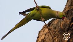 Bird (32) (mshubhajyoti) Tags: shubhajyotimohapatra birdsiitk bird parakeet ngc fantasticwildlife