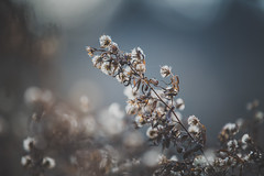 Silver Lining (Stefan (ON/OFF)) Tags: bokeh dof blur bokehful bokehlicious flower nature plant pflanze naturephotography depthoffield shallowdepthoffield fall autumn winter detail petal decay sonya7m2 sonya7ii canonef7020028lisii sigmamc11 pastel color colour colors colours matte melancholic