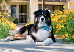 9/52 - And Then This Happened (jayvan) Tags: dash aussie australianshepherd dog resting pretty groomed washed fluffy clean bandana phoenix arizona sony 52wfd 52weeksfordogs