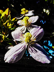 A Flotila of Clematis (Steve Taylor (Photography)) Tags: art digital black blue mauve pink white yellow contrast plant flower clematis
