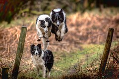 'The Double'   -  Points For Style? (JJFET) Tags: border collie dog sheepdog sheepdogs mist elk paddy fence jumping together littledoglaughedstories
