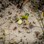 "Leafcutter ants <a style=""margin-left:10px; font-size:0.8em;"" href=""http://www.flickr.com/photos/148015128@N06/32540373152/"" target=""_blank"">@flickr</a>"