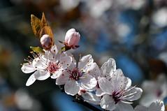 Prunus japonica  (DSC_0041) (dmnq_fenot) Tags: 7dwfflora cof37lete cof037mari cof037anke cof037mchi cof037pete cof037mvfs cof037uki cof037ally cof037cg cof037cher cof037biz flora closeup