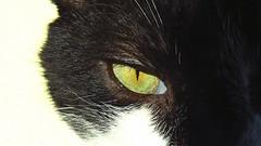 Flicker Friday: # Beautiful eyes (Hayseed52) Tags: flickrfriday beautifuleyes cateyes cat eyes green blackandwhite