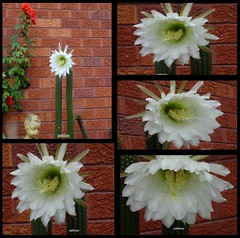 Cacti (pat.bluey) Tags: mygarden flowers blacktown nsw australia collage white yellow cacti 1001nights 1001nightsmagiccity