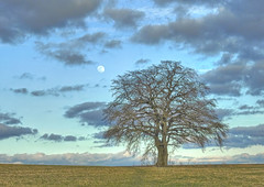 oak tree and moon (Claude@Munich) Tags: germany bavaria upperbavaria egling deining hornstein moon tree oak oaktree quercus quercusrobur single earlyspring claudemunich bayern oberbayern mond baum einzelbaum stieleiche eiche vorfrühling