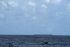 Whale Watching in Mirissa (Mario_Gurusinghe) Tags: srilanka nikon mirissa whale whalewatching tail ship shippinglane deepsea sea nosedive dive