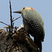 West End - Gold-fronted Woodpecker