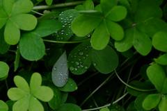 Gotas de rocío (ameliapardo) Tags: gotas rocio verde treboles yerba airelibre naturaleza sevilla andalcia españa andalucia