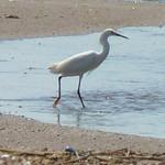 Snowy Egret thumbnail