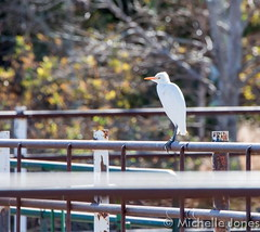 September 20, 2015 - A Cattle Egret at Barr Lake. (Michelle Jones)