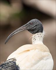 somers-4791-ps-w (pw-pix) Tags: portrait bird eye neck spring head beak australia lagoon victoria ibis somers australianwhiteibis coolartwetlandsandhomestead threskiornismoluccus