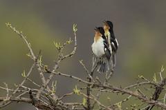 White-rumped Tanager (Bandoleta) (Fabio Rage) Tags: parque white birds aves rage fabio ave serra tanager canastra rumped hirundinacea bandoleta cypsnagra