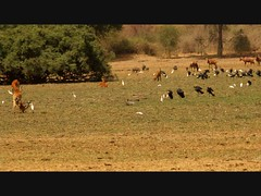 Black crowned cranes Sourane in Zakouma National Park in Chad (inyathi) Tags: africa nature birds chad wildlife cranes safari nationalparks balearicapavonina tchad zakouma blackcrownedcranes geoafrica