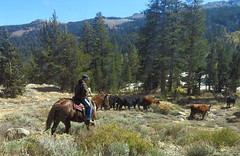 IMG_8985-herding-cows-on-sonora-pass-f (posyche) Tags: california horses mountains fall cowboy rancher horseback herder sonorapass sierramontains herdingcowscows
