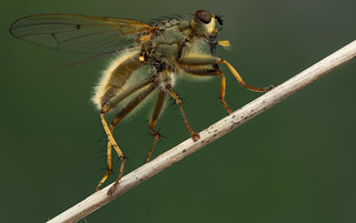 Yellow dung fly - Drekvlieg