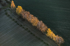 Birch Trees In Autumn (Aerial Photography) Tags: autumn trees tree by landscape la mood herbst aerial diagonal birch landschaft bume baum deu stimmung autumntrees birke luftbild diagonale leaftree luftaufnahme abendlicht lineoftrees bayernbavaria deutschlandgermany ndb laubbaum deciduoustree baumreihe rowoftrees herbstbume foliagetree buchaerlbach fotoklausleidorfwwwleidorfde buchaerlbachlkrlandshut hofenstall 11112015 5sr10233