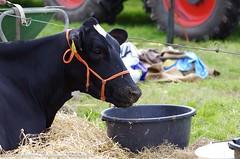 IMGP5538-048 (hugomekersfotografie) Tags: delta hugo dieren crv koeien boerderij 2015 boeren veehouderij brownswiss roodbont veeteelt tractoren rundvee zwartbond rijkse streeknieuws hugomekersfotografie fokveedageibergen