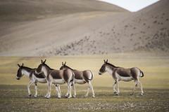 CYM_6428 (nature1970613) Tags: china tibet