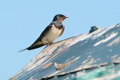 Swallow. (stonefaction) Tags: nature birds scotland fife wildlife swallow kingsbarns