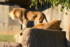 DSC_1229 (gobucks2) Tags: cats zoo lions wildanimals 2015 louisvillezoo november2015 louisvillekentuckyzoo fall2015