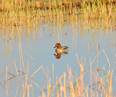 Teal at Marquenterre (robmcrorie) Tags: france bird nature duck north birding reserve des nord crocs bout dhiver marquenterre somme yeal sarcelle