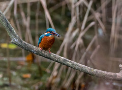 Kingfisher 023_9819 (Baffledmostly) Tags: birds kingfisher brandonmarsh