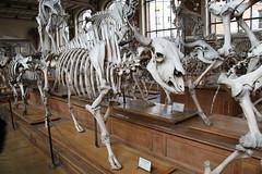 The American Bison Skeleton (praja38) Tags: life paris france nature museum skeleton skull buffalo europe gallery european caps diversity humour american anatomy bones horn hoof bison bovine hump capricorn comparative