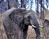 South Africa--Kruger Two 012 (REBlue) Tags: africanelephant bigfive southafrica mpumalangaprovince krugernationalpark