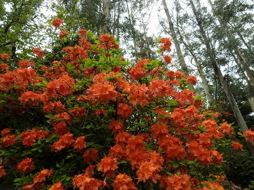 Mollis azalea in full glory
