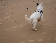 He threw the ball! (KTomlinson74) Tags: coast frintononsea beach england essex seaside dog chase tail wag happy puppy coat furr animal pet