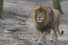 Leeuw, Burgers Zoo (judithvanagthoven) Tags: dieren dierentuin burgers zoo sigma150500mm canon 7dmarkii december 2016 leeuw grote katachtigen animal