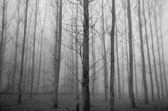 Forest (Jordi sureda) Tags: monochrome nikon jordisureda arbres bosc blackandwhite negro naturaleza natura bosque arboles autumn tardor trees tranquilo mystery niebla foggyforest photo pointofview photography nikkor morning paz d90 nature negre