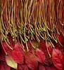 57965.01 Acer platanoides, Vaccinium corymbosum (horticultural art) Tags: horticulturalart acerplatanoides acer norwaymaple maple petioles vacciniumcorymbosum vaccinium blueberry leaves