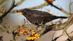 Blackbird (NickWakeling) Tags: blackbird newcostessey birds norfolk nature norwich canoneos7dmarkii sigma150600mmf563dgoshsmcontemporary wildlife