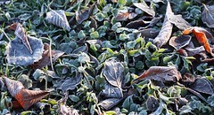 Frosted leafs (tillwe) Tags: tillwe 201612 winter xmas frost leaf