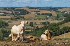 A la campagne (Ivan van Nek) Tags: nikond3200 nikon d3200 france frankrijk frankreich midipyrénées languedocroussillonmidipyrénées anan 31 hautegaronne cows livestock landscape agrarischlandschap agriculture