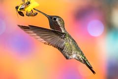 Anna's Hummingbird Male (gilamonster8) Tags: bokeh arizona hummingbird bee honey ngc nbc