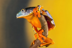 Fringe Tree Frog, CaptiveLight, Bournemouth, Dorset, UK (rmk2112rmk) Tags: fringetreefrog captivelight bournemouth dorset uk treefrog frog amphibian cruziohylacraspedopus macro bokeh