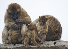 Macaque family on the rock (Tambako the Jaguar) Tags: family young babies kids mother sitting rock sky grooming playing together barbary macaque ape monkey primate plättlizoo zoo frauenfeld thurgau switzerland nikon d5