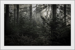 Let there be light. (muddlemaker1967) Tags: hampshire landscape photography pine trees thenewforest national park early morning light mist frost nikon d700 nikkor afs 70200 f28