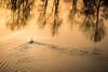 Cygnes à l'Aurore (Seb Coucou) Tags: cygnes aurore loire chalonnes maine et fleuve canon 7d 1585