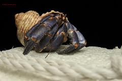 Blueberry hermit crab on strofoam (Okinawa Nature Photography) Tags: hermitcrabs hermit crustaceans crabsofjapan beachphotography shawnmmillerphotography okinawanaturephotography canonoutdoors