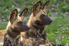 African Wild Dogs - Okavango (Donna Hampshire) Tags: africanwilddog africanhuntingdog africanpainteddog capehuntingdog paintedwolf botswana okavango wildlife lycaonrictus khwaicommunityarea wildlifeoftheokavango donnarobinson donnahampshire canon7dii