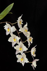 Oncidium alexandrae (Odontoglossum crispum) par Claude (cattlaelia) Tags: orchid cattlaelia orchidée oncidium odontoglossum
